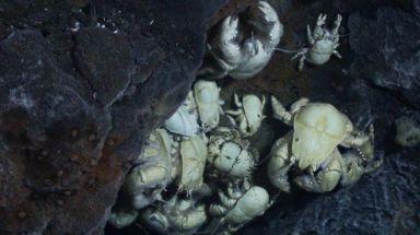 yeticrabs2
