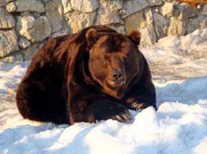A_Russian_Bear